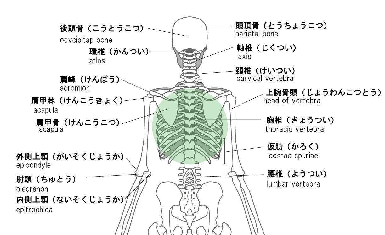 下 肩 痛い 背中 右 甲骨